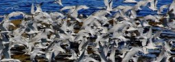 Dictarán charla sobre las aves marinas de la Península Valdés